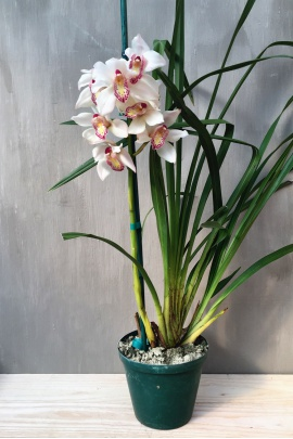 cymbidium_bubble_angel
