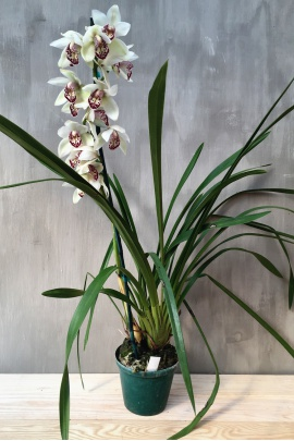 cymbidium_hex_valley_oudepost