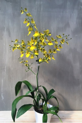 oncidium_sweet_sugar_3