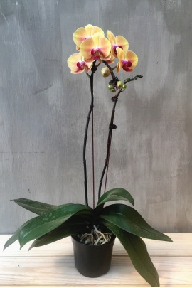 phal_golden_beauty_2