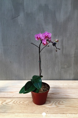 phal_purple_stripe_mini