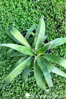 vriesea_ospinae